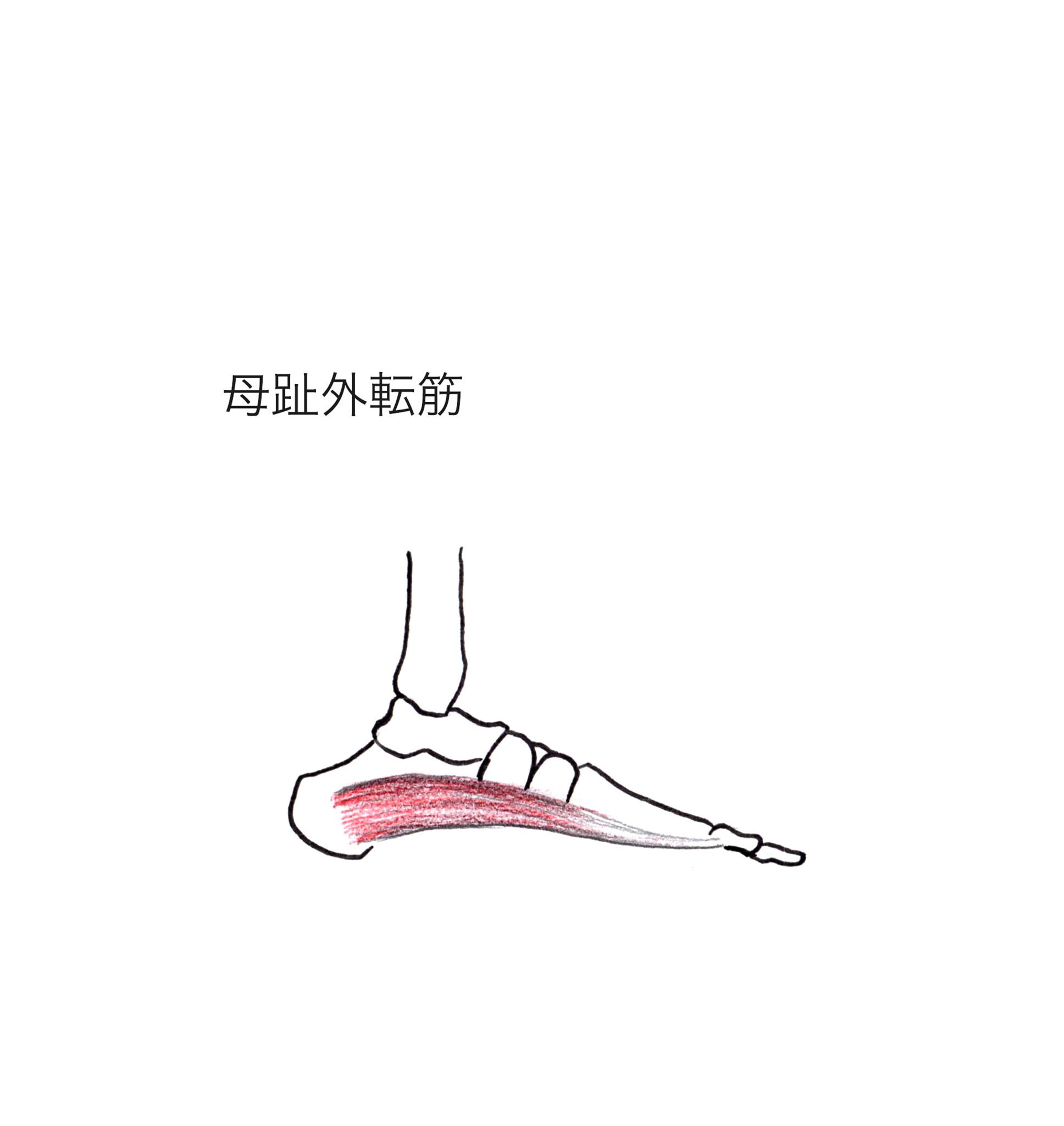 【土踏まずのアーチを保ち、走る推進力を向上させる筋肉】母趾外転筋の特徴と作用